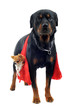 rottweiler transportant un  chihuahua