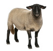 Female Suffolk sheep, Ovis aries, 2 years old, standing