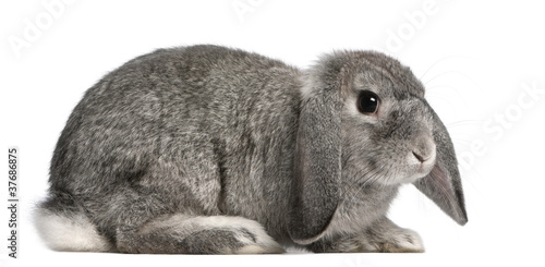 French Lop rabbit, 2 months old, Oryctolagus cuniculus, sitting