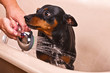 Pinscher Dog Sitting in Bathtub to be Washed .