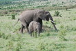 Mother and Daughter elephants