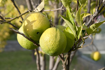 Bunch of unripened oranges on a branch