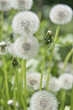 Close Up of fluffy dandelions