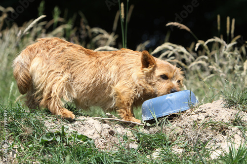 norwich terrier devant sa gamelle
