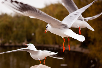 Flying black-headed gull