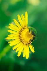 Half-dehisced yellow dandelion