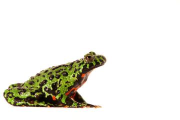 Frosch Unke China Kröte Bunt