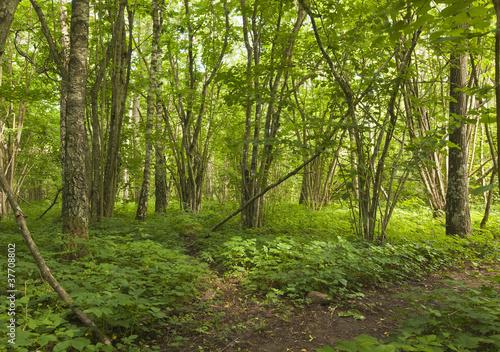 Woods with hazel