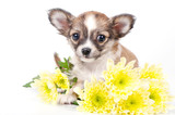 cute chihuahua puppy with yellow flowers