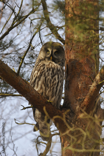 Great Grey Owl (Strix nebulosa) in a pine