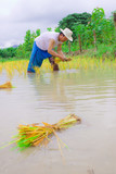 Thai farmer working on his field by transplantation poster