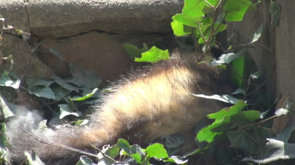 ferrets playing and searcher