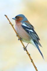 spring finch on a branch