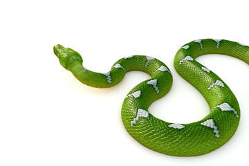 Green tree python Render