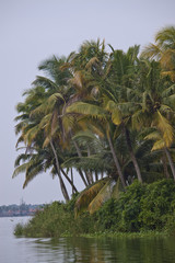 Palms along canals and lakes in Backwaters, Kerala, India