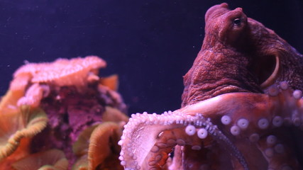 Small octopus moves in an aquarium