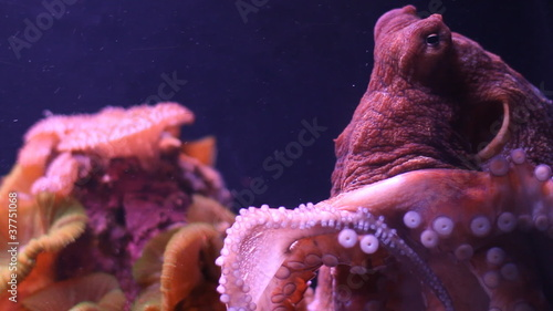 Small octopus moves in an aquarium