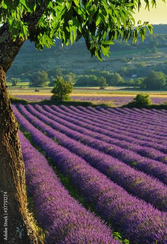Fototapeten,feld,lavendel,landschaft,provence