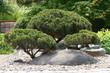 Bonsai Japan