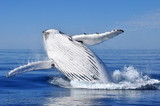 HUMPBACK WHALE BREACH OFF THE COAST OF WESTERN AUSTRALIA