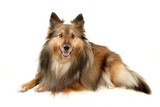 Beautiful furry Sheltie