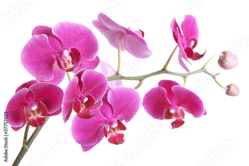Foto op Canvas Lilac The branch of orchids on a white background