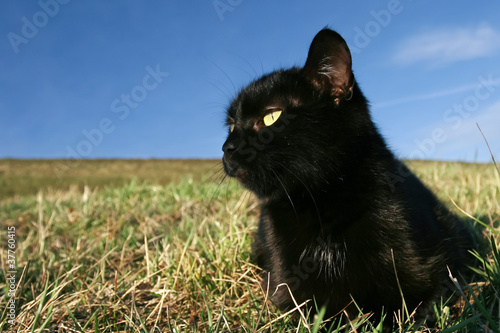 Black cat at sunset in the grass