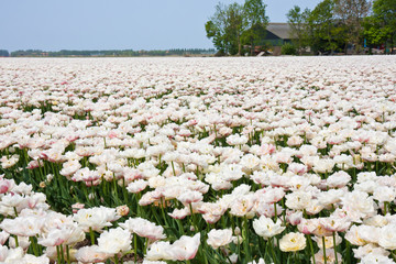 White tulip field in the Netherlands
