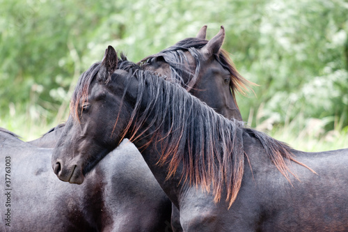 Two beautiful black horses, standing together in the meadow