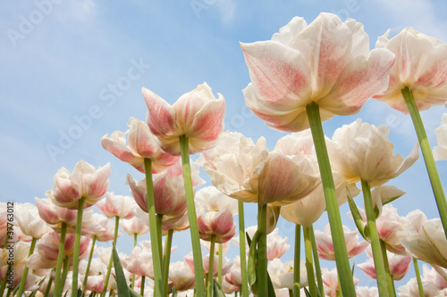 White and red speckled tulips in front of a light cloudy blue sk