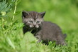 British kitten in green grass
