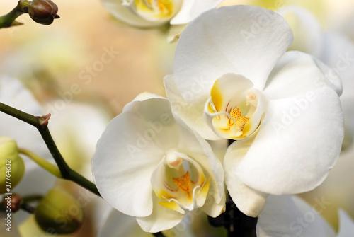 Fototapeten,belle,natürlich,weiß,orchidee
