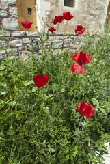 Poppies and Wild flowers on the Island of Crete in Greece