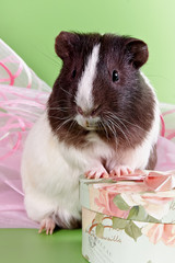 guinea pigs and gift