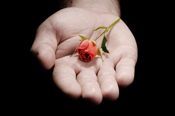hand of a man giving a small fresh natural rose