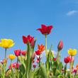 Endlich Frühling, Tulpen, Frühlingstag
