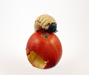 Giant Apple Maggot