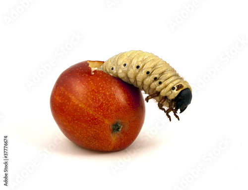 Giant apple worm