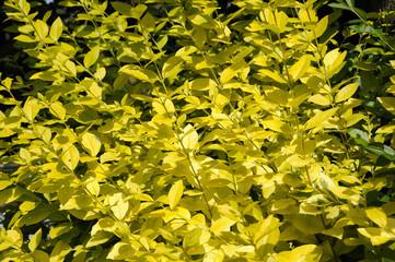 Ramas amarillas