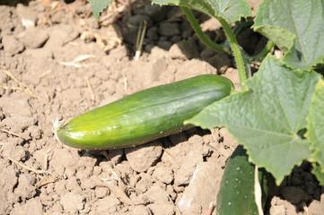Vegetal, pepino,Cucumis ssp