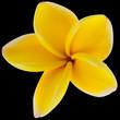 fleur de frangipanier sur fond noir
