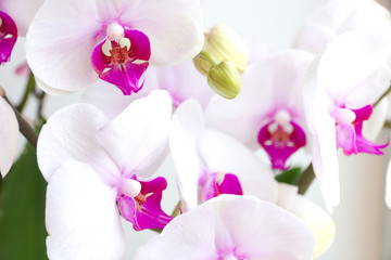 Phalaenopsis orchids. Type Phalaenopsis: red lips