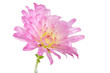 Beautiful Pink Chrysanthemum Flower on White Background