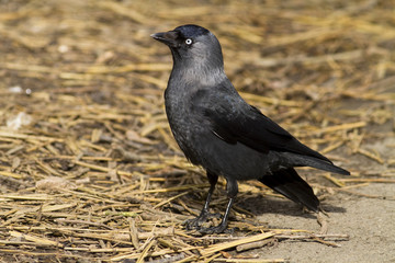 Jackdaw stood on straw in sunlight