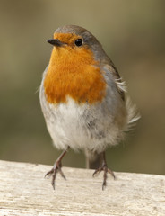 Robin stood on a fence facing the camera