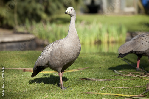Cape Barren goose on grass in sunlight