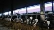 Kühe im Stall beim Fressen