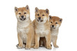 Shiba-inu puppies on white background