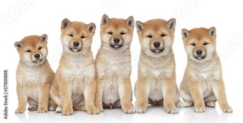 Shiba inu puppies portrait