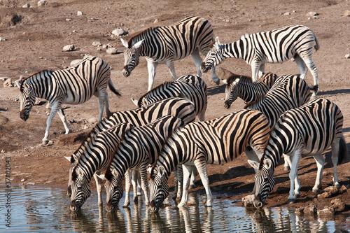 zebre che bevono